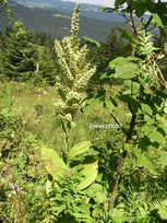 Veratrum
