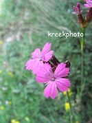Dianthus carthusianorum