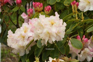 Rhododendron 'Spaetlese'