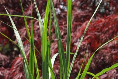 Miscanthus floridulus 'Jubilar'
