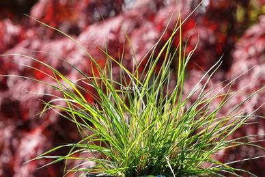 Pennisetum alopecuroides 'Gelbstiel'