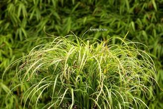 Carex dolichostachya 'Kaga-nishiki'