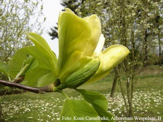 Magnolia 'Anilou'
