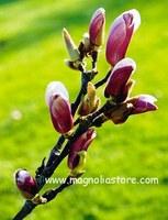 Magnolia 'Chang Hua' (CHAMELEON)