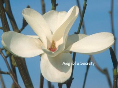 Magnolia 'Cecil Nice'