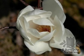 Magnolia 'David Clulow'