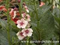 Verbascum