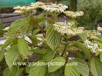 Viburnum 'Huron'