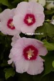 Hibiscus sinosyriacus 'Melmauve'