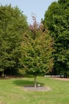 Parrotia persica 'Jodrell Bank'