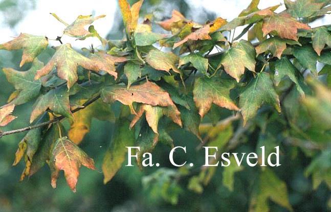 Acer bornmuelleri