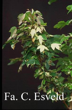 Acer buergerianum 'Goshiki-kaede'