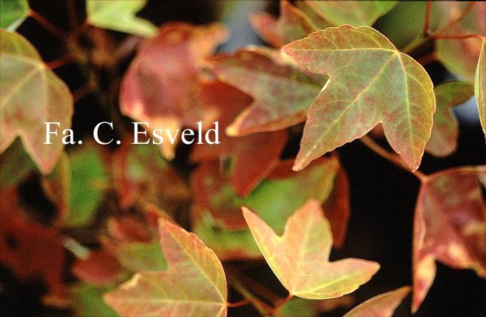 Acer buergerianum 'Inazuma nishiki'