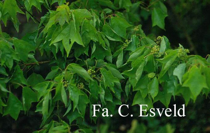 Acer buergerianum 'Mitsubatoh-kaede'