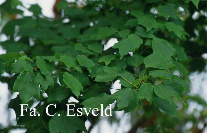 Acer buergerianum ssp. ningpoense