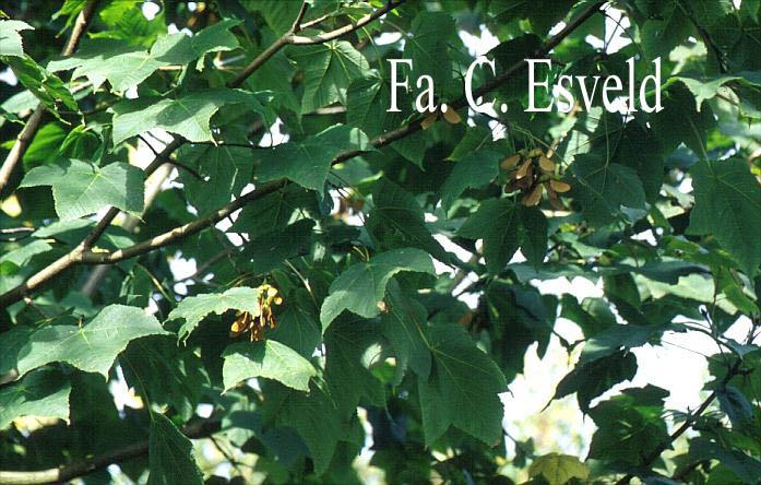 Acer caesium
