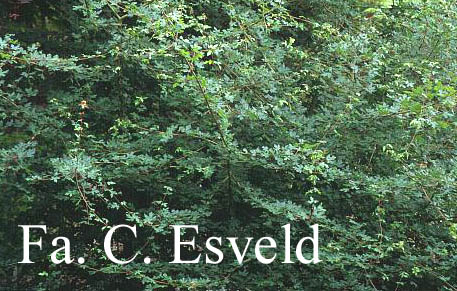 Acer campestre 'Microphyllum'