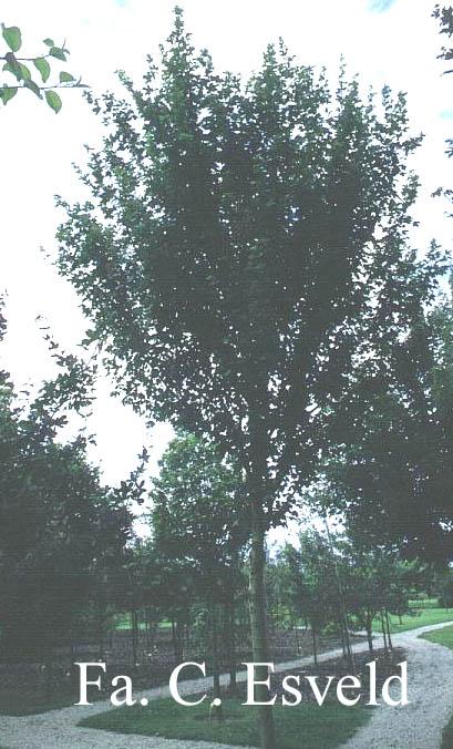 Acer campestre 'Zorgvlied'