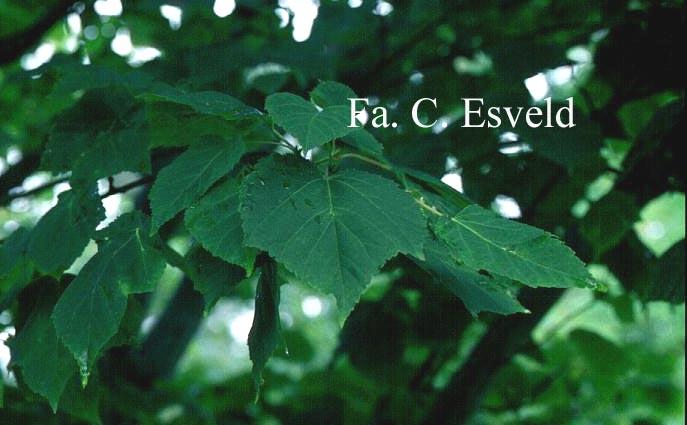 Acer capillipes 'Gimborn'