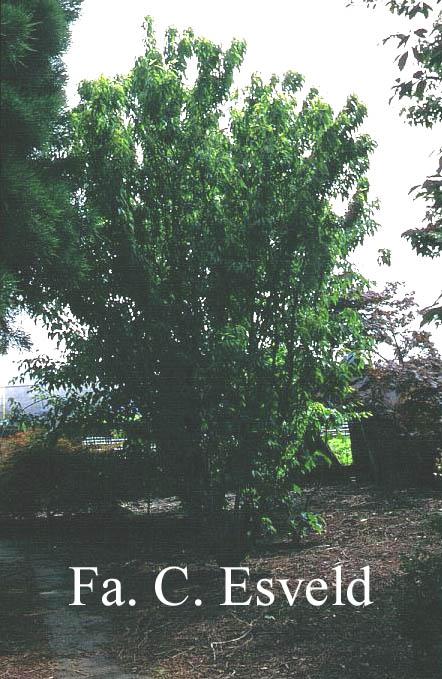 Acer carpinifolium 'Esveld Select'