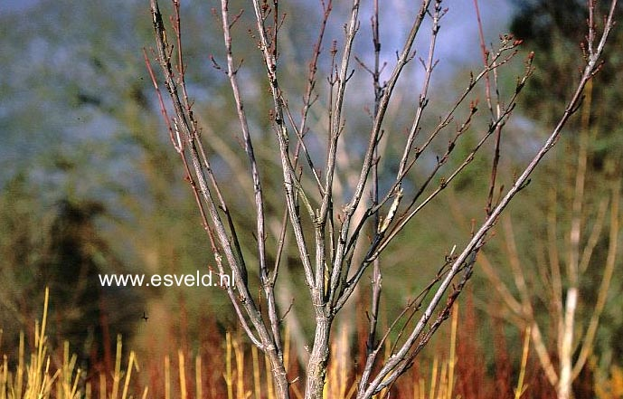 Acer conspicuum 'Candy Stripe'