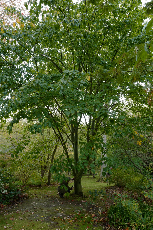 Acer conspicuum 'Elephant's Ear'