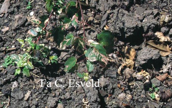 Acer crataegifolium 'Me-uri-no-ohfu'