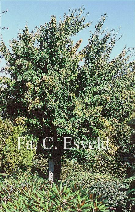 Acer davidii 'Canton'