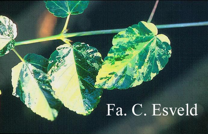 Acer davidii 'Hansu-suru'