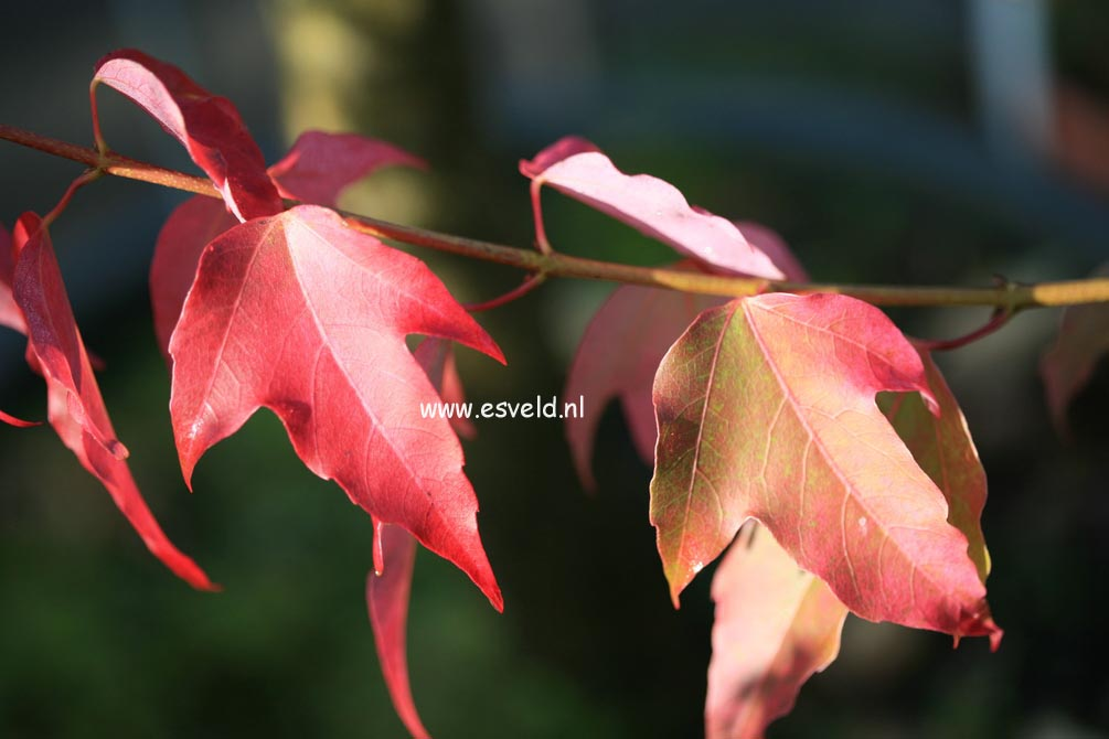 Acer discolor