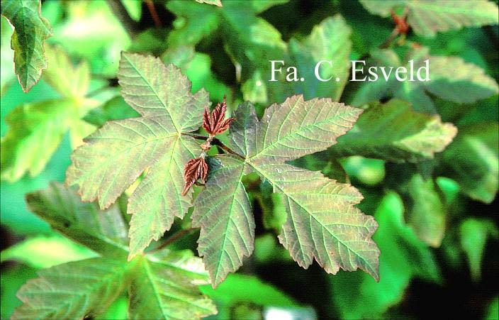 Acer griseum x pseudoplatanus