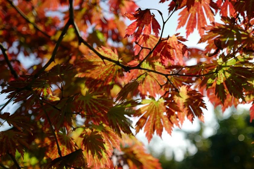 Acer japonicum 'Attaryi'
