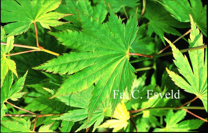 Acer japonicum 'Kalmthout'