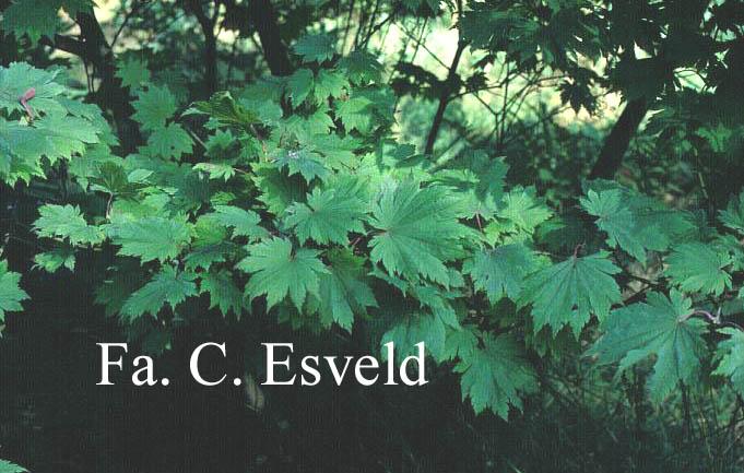 Acer japonicum 'Ōtaki'