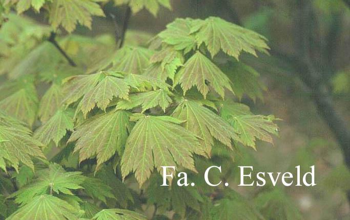 Acer japonicum 'Taki no gawa'