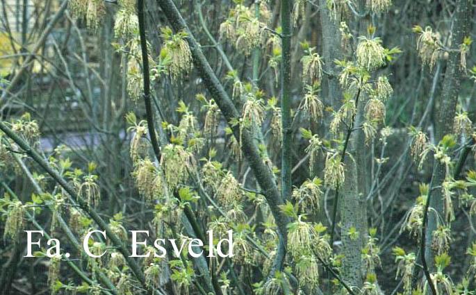 Acer negundo ssp. interius
