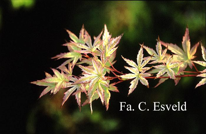 Acer palmatum 'Alpenweiss'