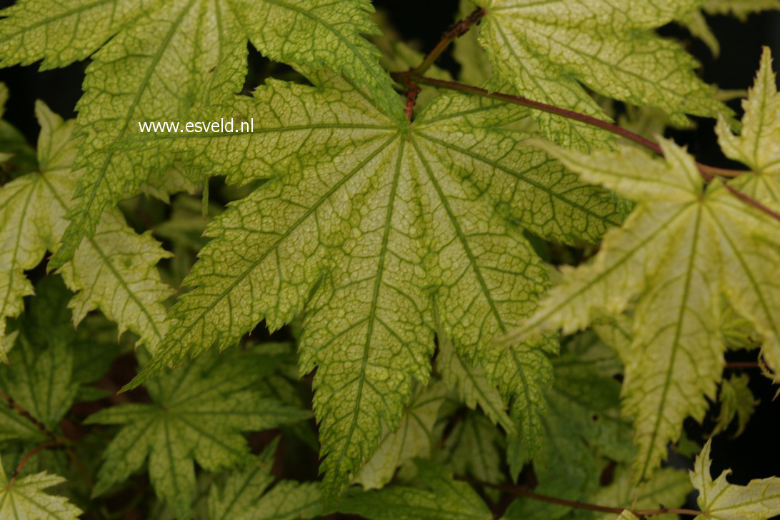 Acer palmatum 'Alpine Silver Thread'