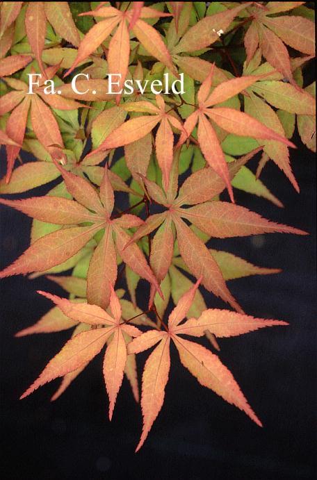 Acer palmatum 'Asuka'
