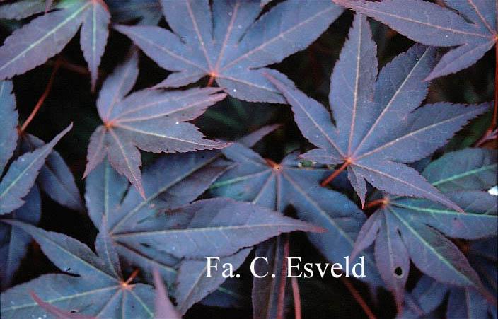 Acer palmatum 'Atropurpureum Wattez'