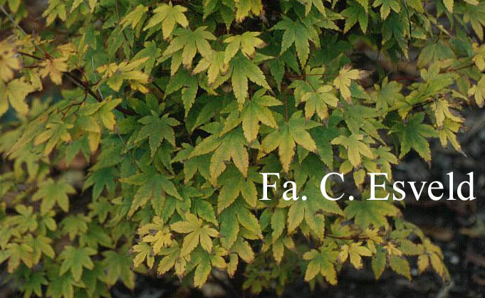 Acer palmatum 'Beni-kawa'