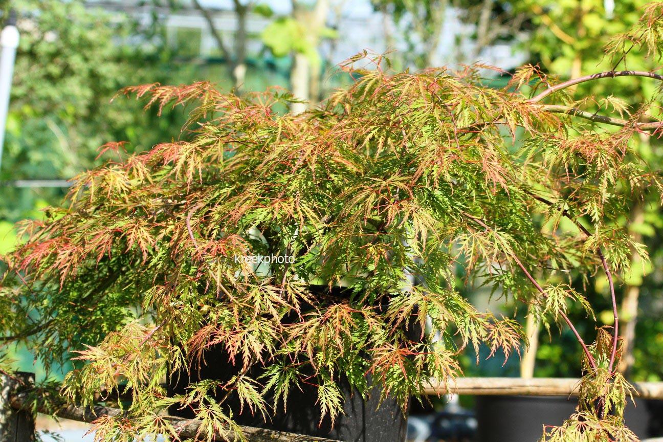 Acer palmatum 'Birthday Wishes'