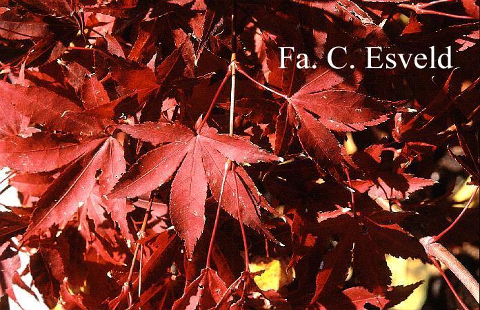 Acer palmatum 'Bonnie Bergman'