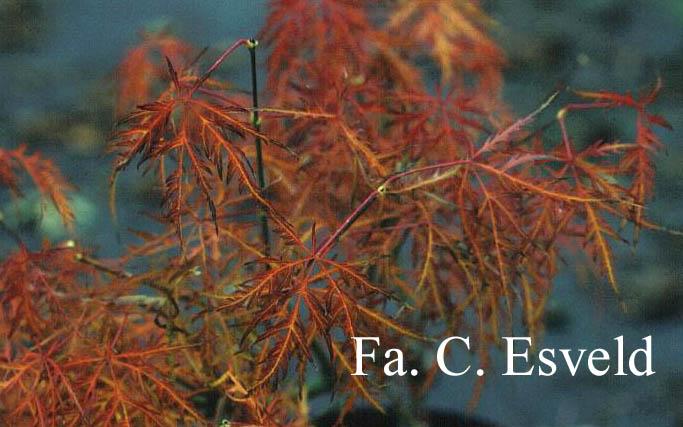 Acer palmatum 'Brocade'