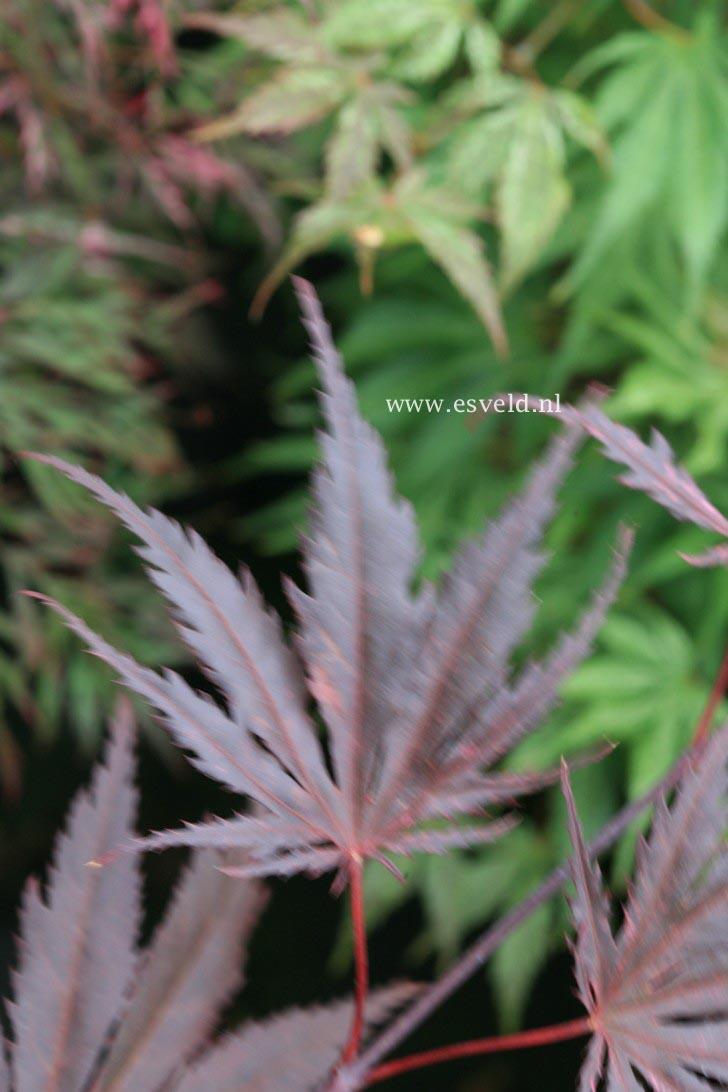 Acer palmatum 'Bultinck'