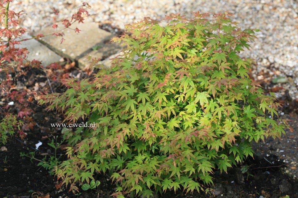 Acer palmatum 'Caperci Dwarf'