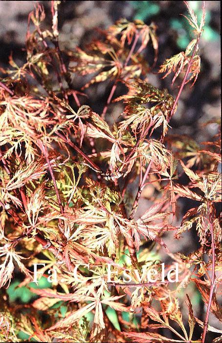 Acer palmatum 'Chantilly Lace'