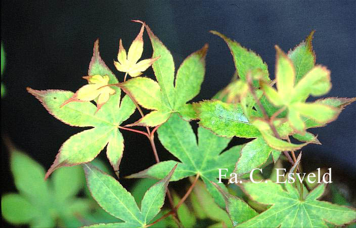 Acer palmatum 'Chuzen-ji'