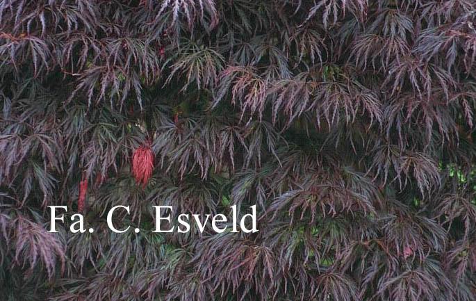 Acer palmatum 'Crimson Queen'