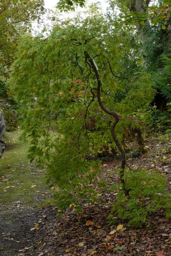 Acer palmatum 'Dissectum Flavescens'